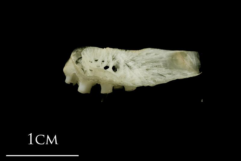 Atlantic halibut pharyngeal ventral view