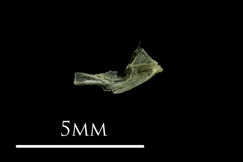 Three-spined stickleback quadrate medial view
