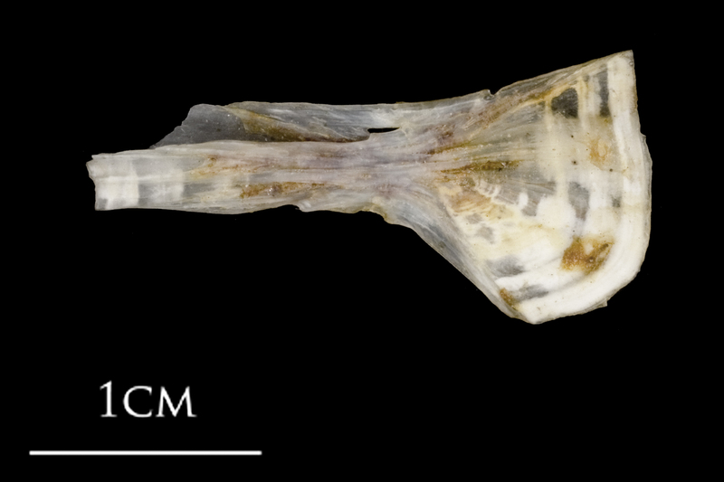 Sea scorpion ceratohyal lateral view