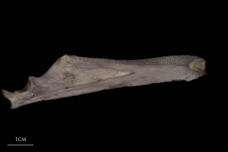 Wels catfish dentary medial view