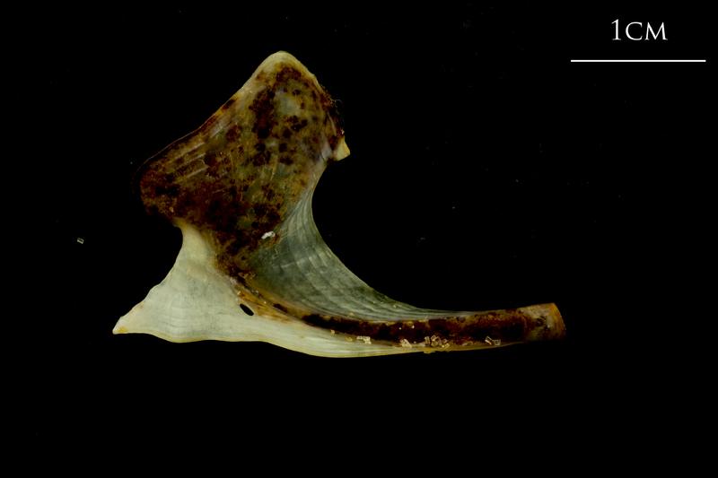 Ballan wrasse coracoid medial view