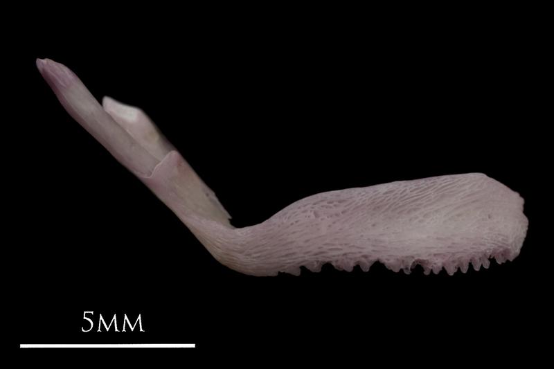 Common sole premaxilla lateral view