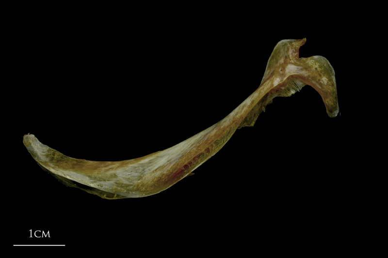 Spanish mackerel cleithrum lateral view