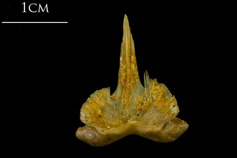 Thinlip grey mullet  vomer dorsal view