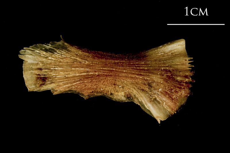 Catfish ceratohyal lateral view
