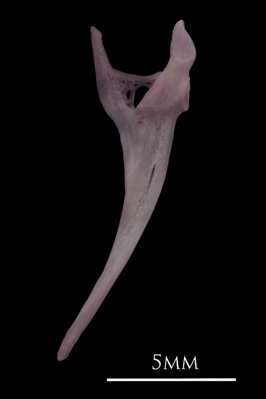 Common sole maxilla medial view