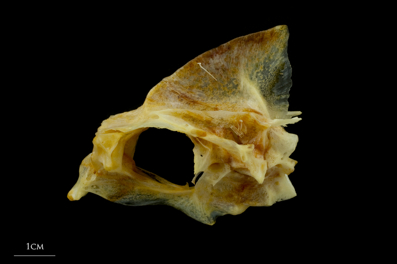 Gilthead seabream parasphenoid basioccipital vomer complex lateral view