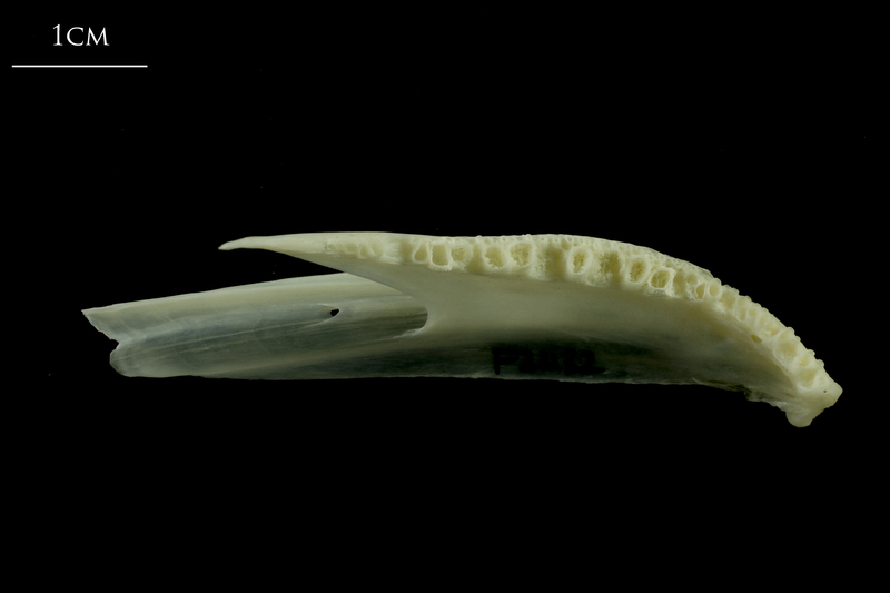 Whiting dentary dorsal view
