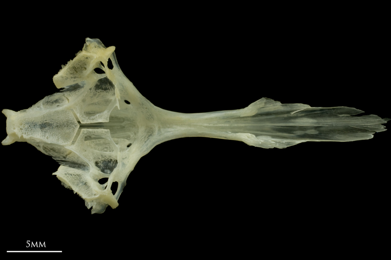 Red mullet basioccipital parasphenoid dorsal view