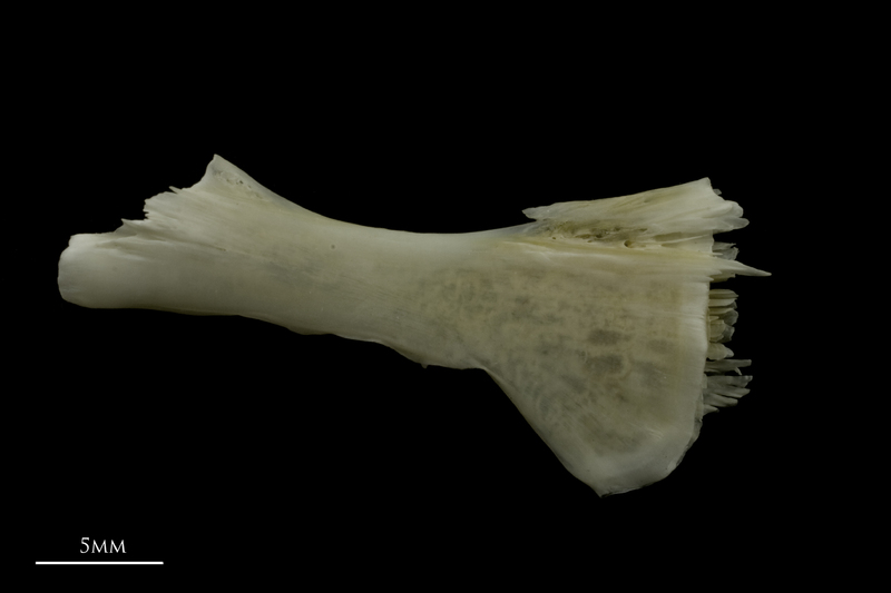 Zander ceratohyal lateral view