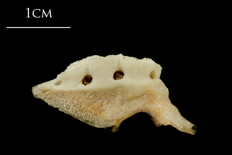 Catfish pharyngeal lateral view