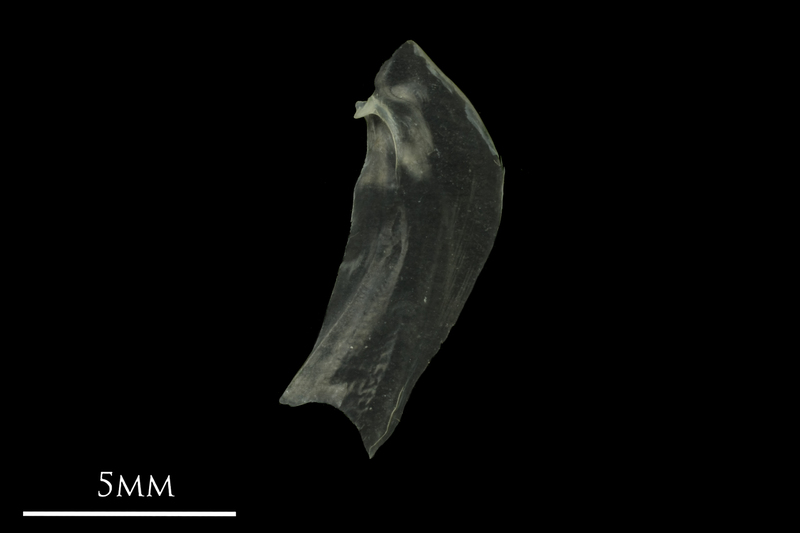 European anchovy opercular medial view