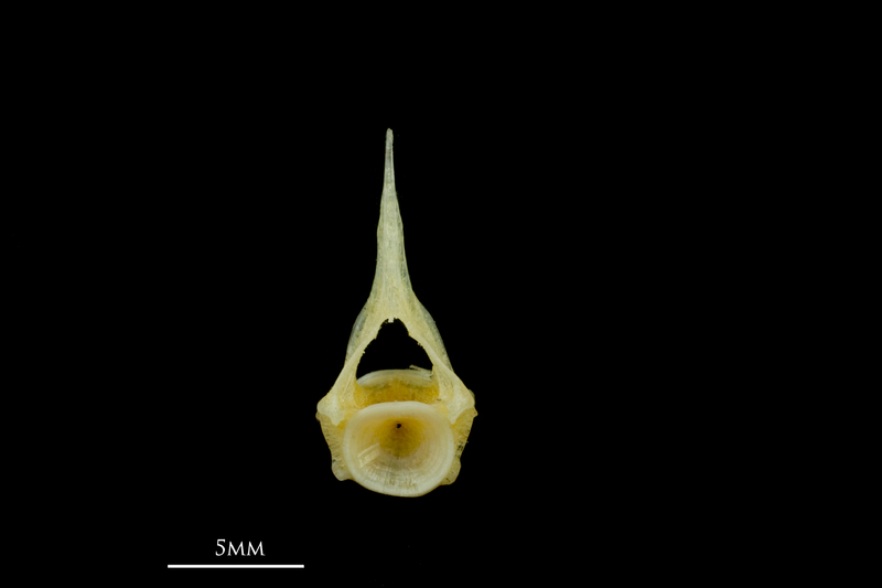 Scad precaudal vertebra anterior view