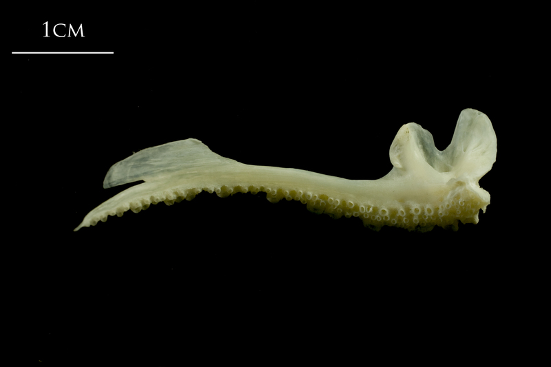 Whiting premaxilla medial view