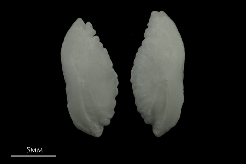Burbot otolith(s) detail view