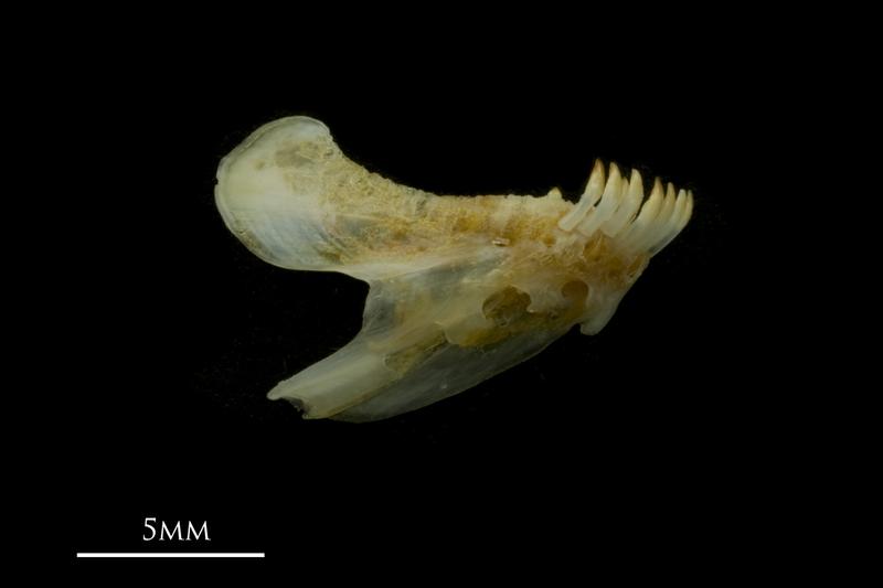Black seabream dentary medial view