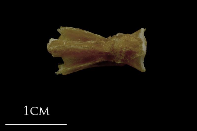 Spanish mackerel basioccipital ventral view