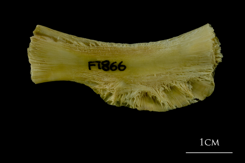 Atlantic cod ceratohyal lateral view