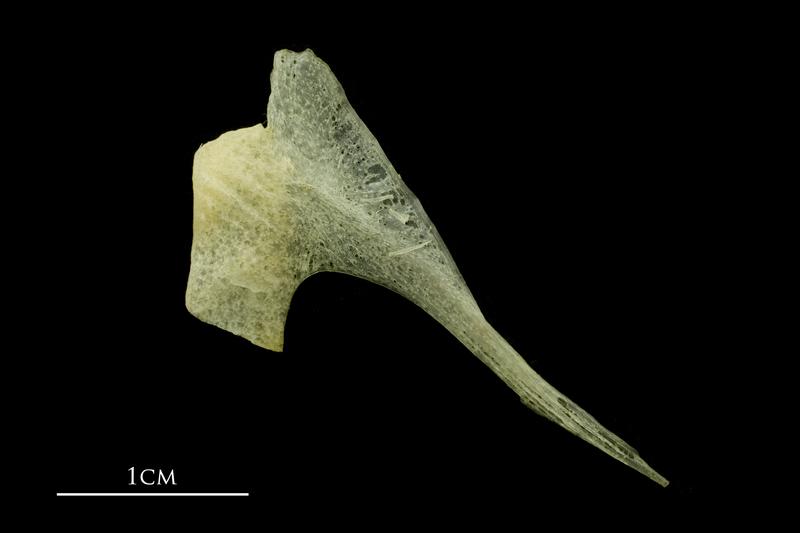 Atlantic mackerel postcleithrum lateral view