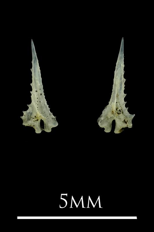 Three-spined stickleback spine anterior view