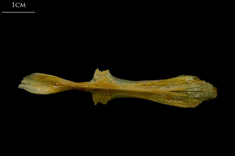 Thinlip grey mullet  parasphenoid ventral view