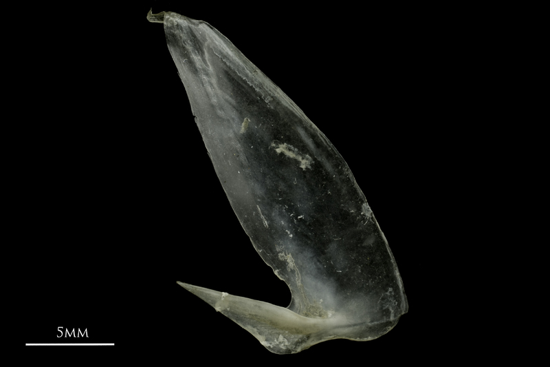 Common pandora subopercular lateral view