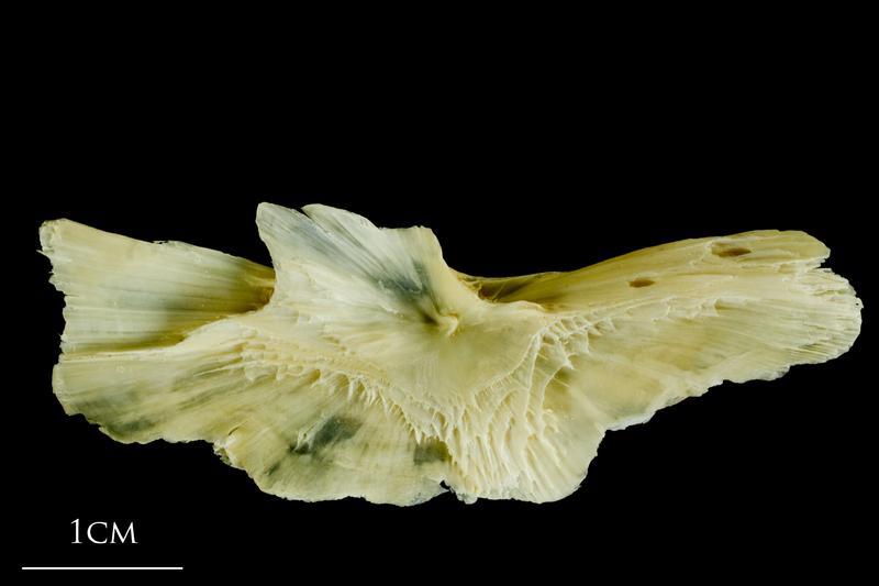 Atlantic cod preopercular medial view