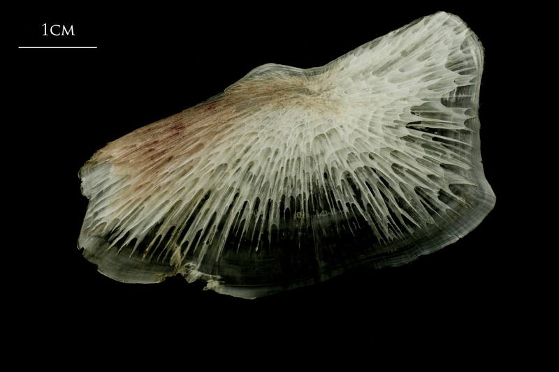 Atlantic halibut subopercular lateral view
