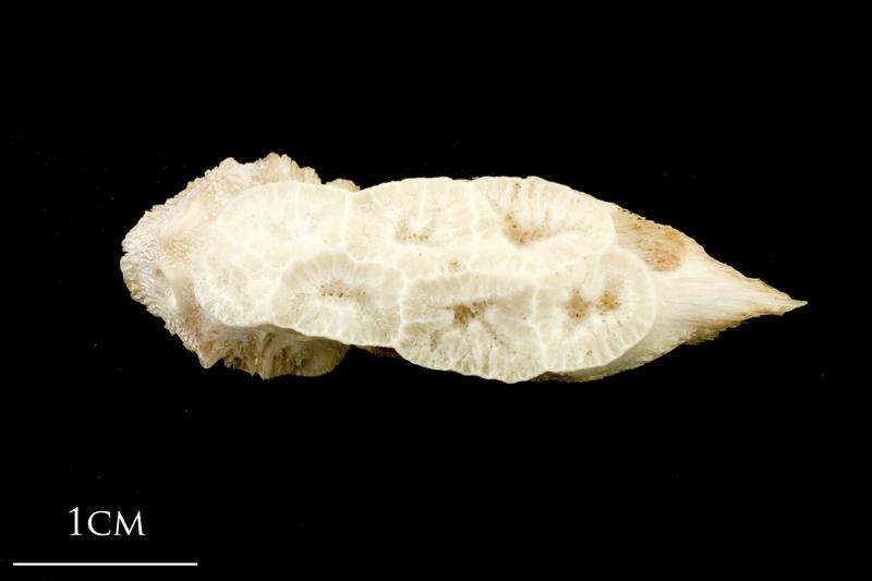 Catfish vomer dorsal view