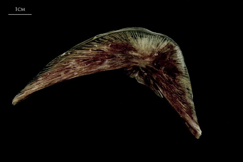 Atlantic halibut preopercular medial view