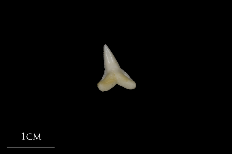 Blue Shark teeth medial view