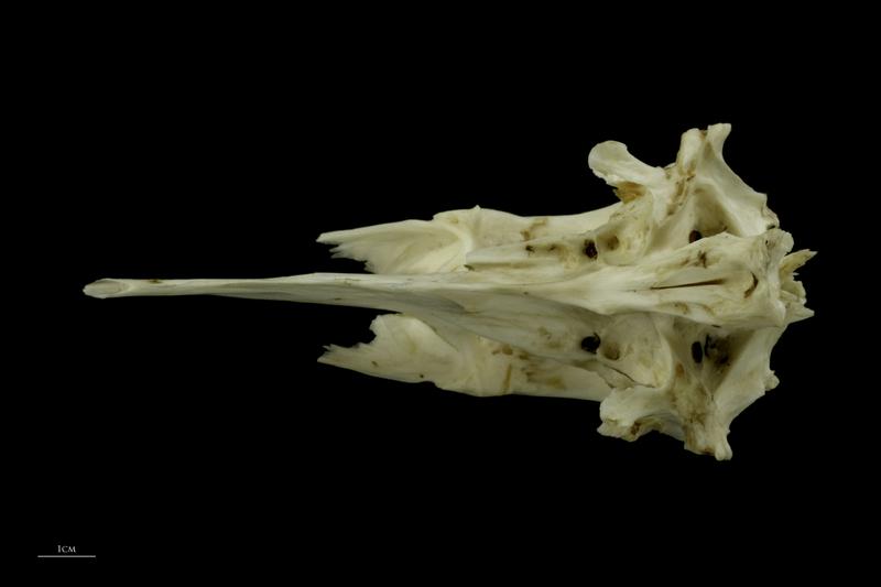 Grey Triggerfish parasphenoid basioccipital complex ventral view