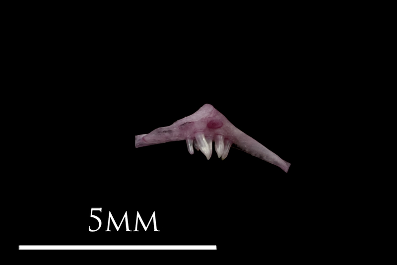 Dragonet pharyngeal lateral view