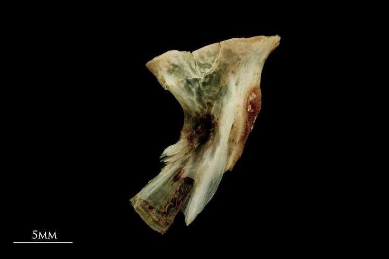 Garfish hyomandibular lateral view