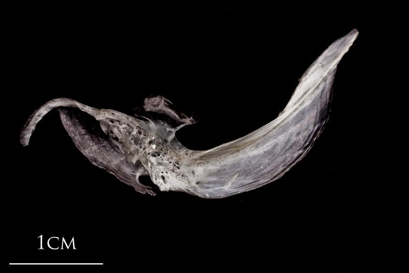 Atlantic herring cleithrum medial view