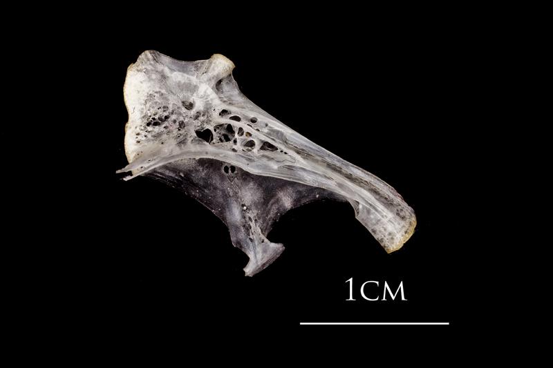 Atlantic herring hyomandibular lateral view