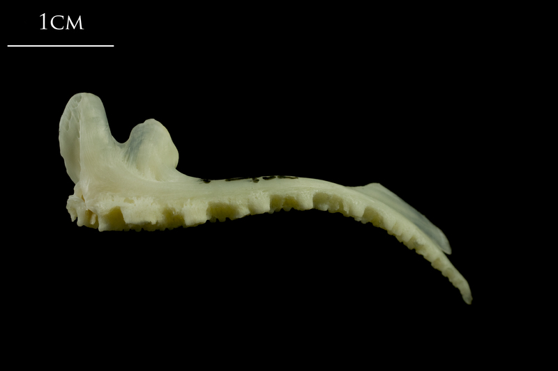 Whiting premaxilla lateral view
