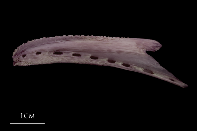 Wels catfish dentary lateral view