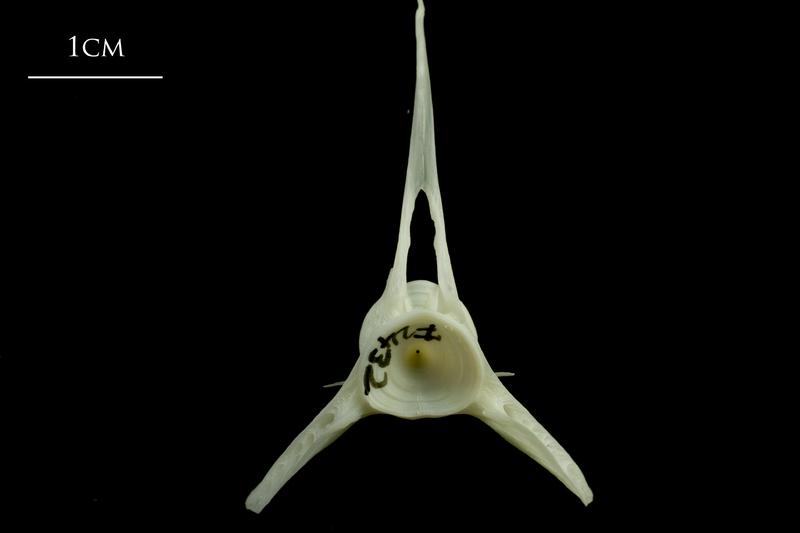 Whiting precaudal vertebra anterior view