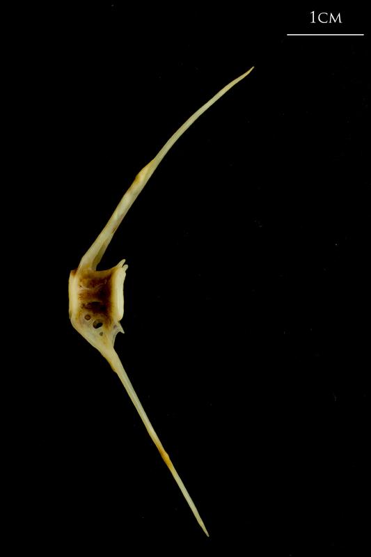 Ballan wrasse caudal vertebra lateral view