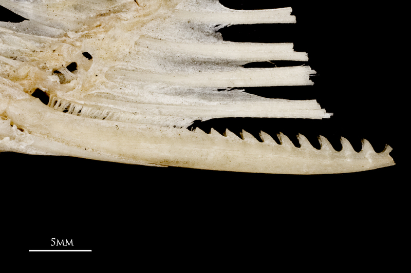 Common carp serrated spine lateral view
