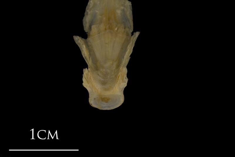 Shore rockling parasphenoid basioccipital complex dorsal view