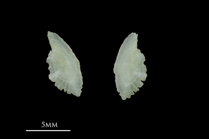 Scad otolith(s) detail view