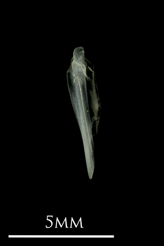 European anchovy supracleithrum lateral view