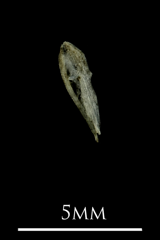 Three-spined stickleback for assessment medial view