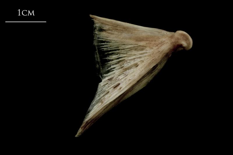 Atlantic halibut quadrate medial view
