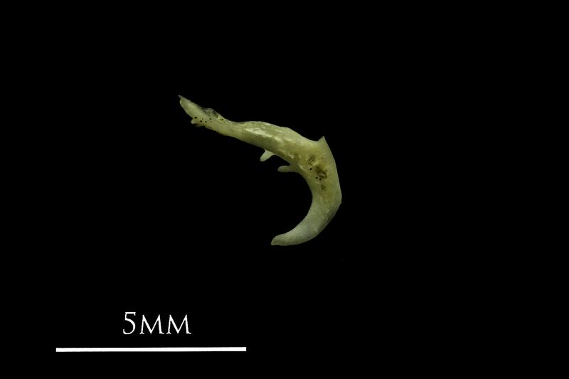 Eurasian minnow pharyngeal ventral view