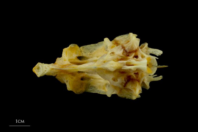 Gilthead seabream parasphenoid basioccipital vomer complex ventral view