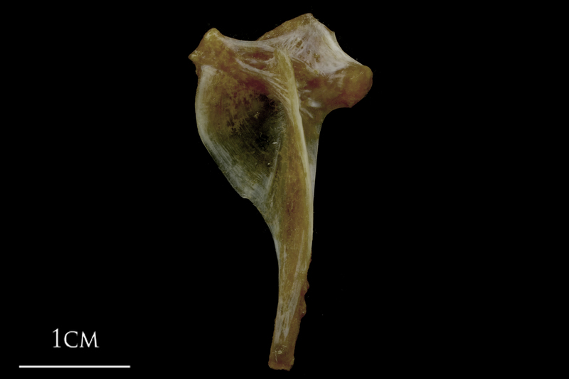 Spanish mackerel hyomandibular lateral view