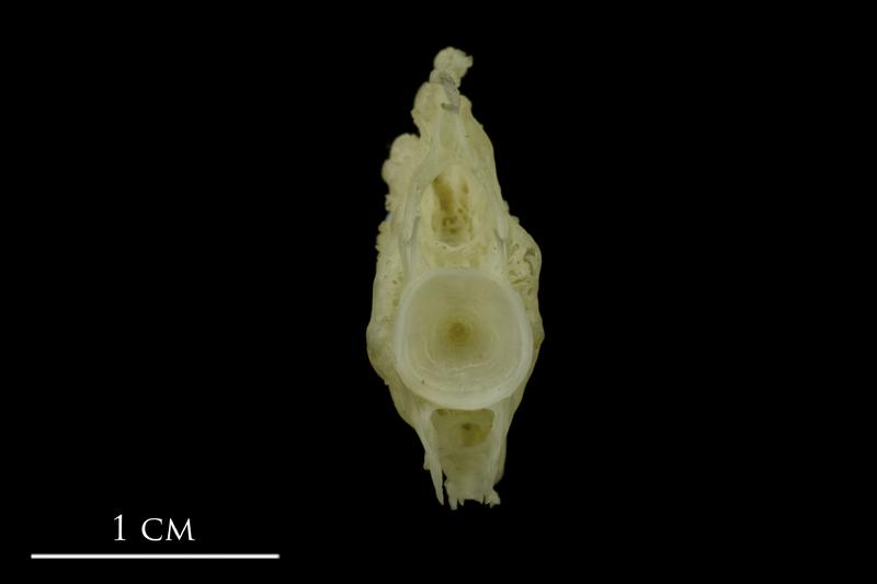European conger ultimate vertebra anterior view